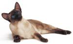 Кошки ориентальные и сиамские
