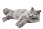 Кошки длинношерстные