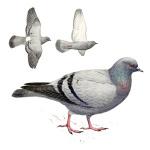 Птицы семейства голубиных