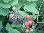 Саженцы ягодных кустарников