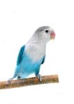 Птицы семейства попугаевых