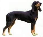 Гончие и родственные породы собак
