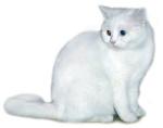 Кошки полудлинношерстные