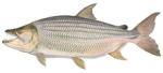 Харациновые рыбы