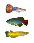 Карпозубые рыбы