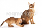 Кошки короткошерстные