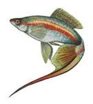 Пецилиевые рыбы