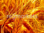 Зерновые, бобовые и крупяные культуры